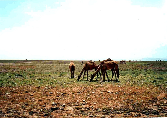 camel country